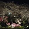 養源寺の夜桜!
