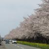 サウナとサクラツーリング【秋田県・大潟村菜の花ロード】ミニバイクで桜を見に行く2021