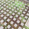 駐車場のコルシカミント_2020年初夏