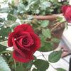深紅のミニバラとサンセットグロウの鉢増し