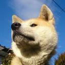 秋田犬「定春」の華麗なる日常