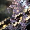 「慶恩寺」枝垂れ桜(前編)