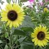 「まつこの庭」・夏の花(2)