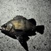 波崎漁港で大きいヒラメが釣れた件について