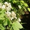 ヒメウツギの花をきれいに撮りたい