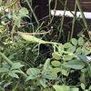 庭の改造:ユキヤナギの植え付け