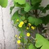 ★植木鉢のイチョウと黄色い花