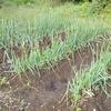 育苗中の玉ねぎとノラボウナの様子、家庭菜園の様子と農家から直接米を買った話