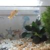金魚の病気と水槽リセット