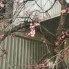 寒中に梅咲く・・・春はもうすぐ