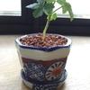 ラズベリー盆栽