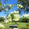 初夏には白い花がよく似合う