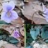 行者山のナガバタチツボスミレ Viola ovato-oblonga と、その他市中のスミレ