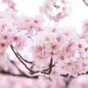 新宿御苑 桜模様〜東京お花見散歩〜