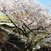 【恋愛成就・縁結び】お初天神の桜、恋人の聖地でお花見♪