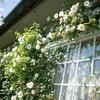白いバラとか:初夏の庭の花(2)