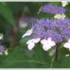 伊那のあじさい寺に2500株の紫陽花が美しく咲き誇る
