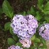 紫陽花園(*´▽`*)