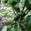 家庭菜園収穫記録7/23