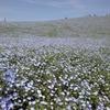 一面の青い花:ネモフィラ。