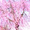 「桜の咲く頃にはいつも思いだす…」episode-10