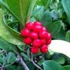 ミヤマシキミ(深山樒、Skimmia japonica)