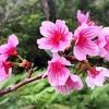 本茶峠の緋寒桜