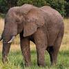 アフリカ・ボツワナがゾウの密漁を解禁した話