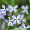 春の砂浜でみられるハマダイコンの花 熊本県天草郡苓北町富岡