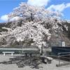 多摩川桜百景 -85. 奥多摩湖畔・大麦代-