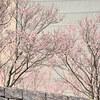 狭山池公園の桜 Ⅰ