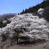 樽見の仙桜