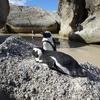 ボルダーズビーチでケープペンギンと対面②