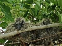 ハトのヒナ誕生13~14日目にしてハトの巣は手狭になる。頼むから落ちないでくれ。巣立ちを見せてくれ。私はハトは触れないぞ。