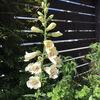 ジギタリスの開花・2021年