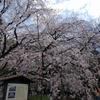 駒込散歩~ソメイヨシノ発祥の地「六義園のしだれ桜」から野田焼売店へ