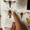 ハチにそっくりなチョウチョウ