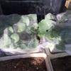 のらぼう菜がヒヨドリに