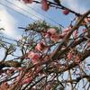 【出来事】庭のしだれ梅が開花しました