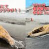 【地震前兆】相模湾に異変!?5月21日の鎌倉市の材木座海岸(体長7.7m)に続き、22日には横須賀市の北下浦海岸でも体長5.7mの『ザトウクジラ』が漂着!クジラと地震については科学的な根拠は無いとのことだが、『相模トラフ』・『南海トラフ』の巨大地震が心配!!