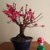 梅盆栽満開