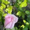 水遣り三年と言いますが…水分計サスティーの感想と、鉢バラの水遣りの仕方