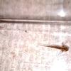 アカハライモリ幼生の成長