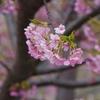 「河津桜」白山市蝶屋