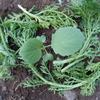キャベツの定植と春菊