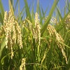 新銘柄のお米はどんな味?特徴などをご紹介