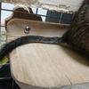 デグーの尻尾の怪我 - 単純な尾切れ・尾抜けは自宅でも治せる