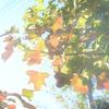 庭の紅葉☆秋の光
