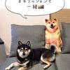 柴犬まるのクッション