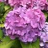 代々木公園ランニング〜バラの季節から紫陽花の季節へ〜